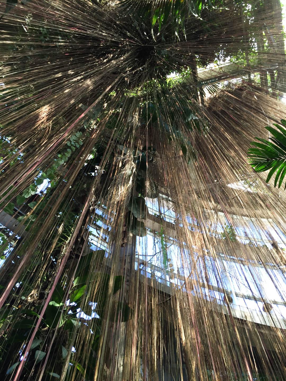 Atlanta Botanical Garden Cissus Plant